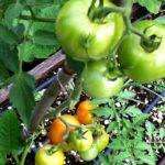 Tomates en otoño