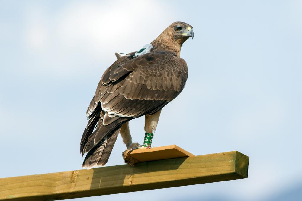 Electrocución de aves: el Libro Blanco protege, entre otras especies, al águila de Bonelli, aquí con su emisor GPS al dorso