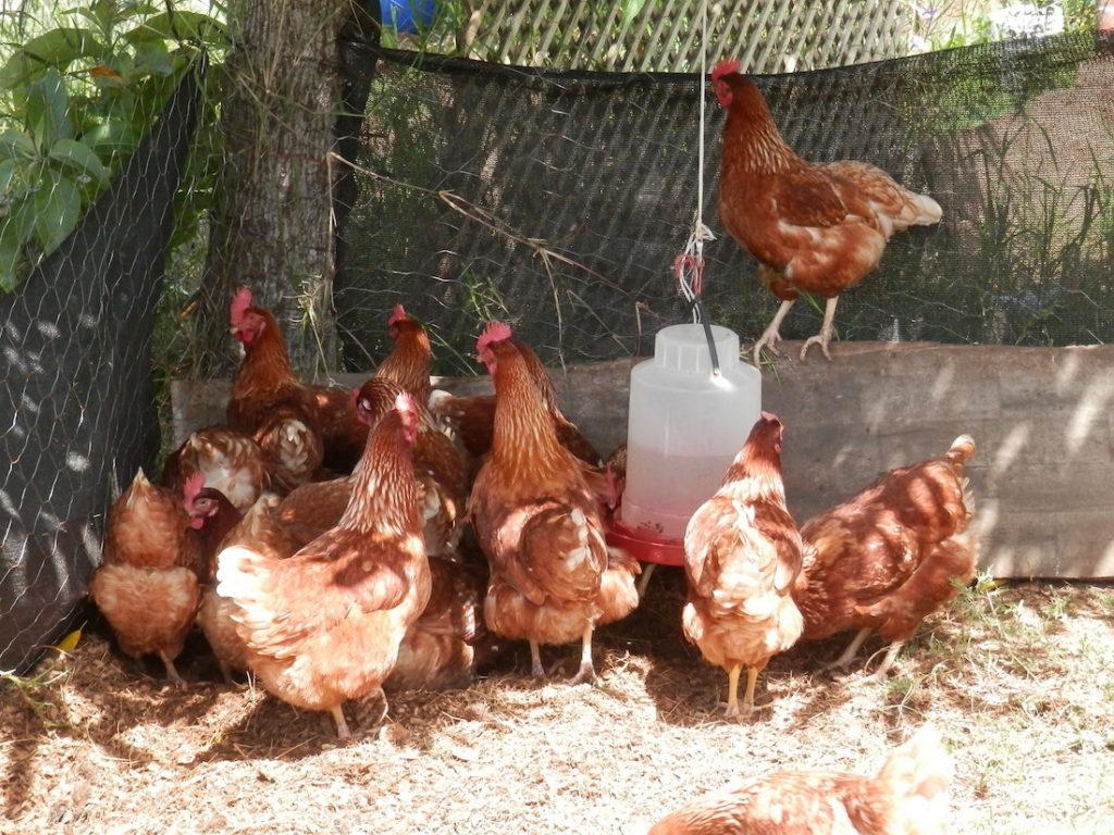 Huevos libres de jaula, de gallinas también libres