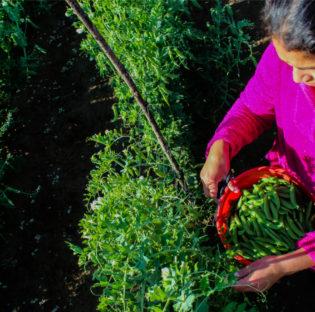 Mujeres rurales: un Atlas de la FAO