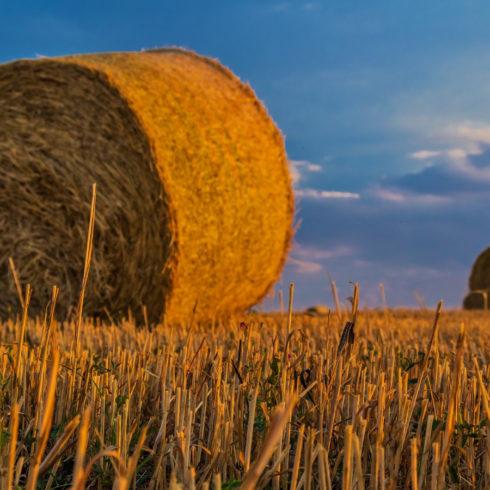 Paja de trigo en tu móvil