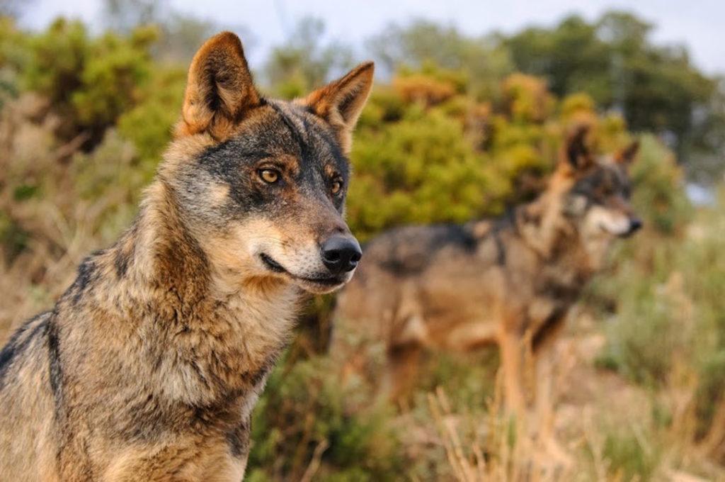 Coexistencia entre ganadería extensiva y el lobo