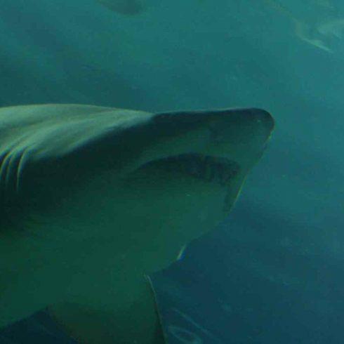Los científicos argentinos alertan sobre el peligro de extinción de los tiburones en las aguas de la provincia de Buenos Aires