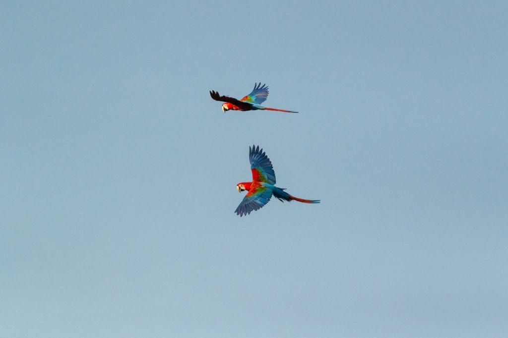 Liberación de cinco guacamayos rojos en el Gran Parque Iberá, en Corrientes