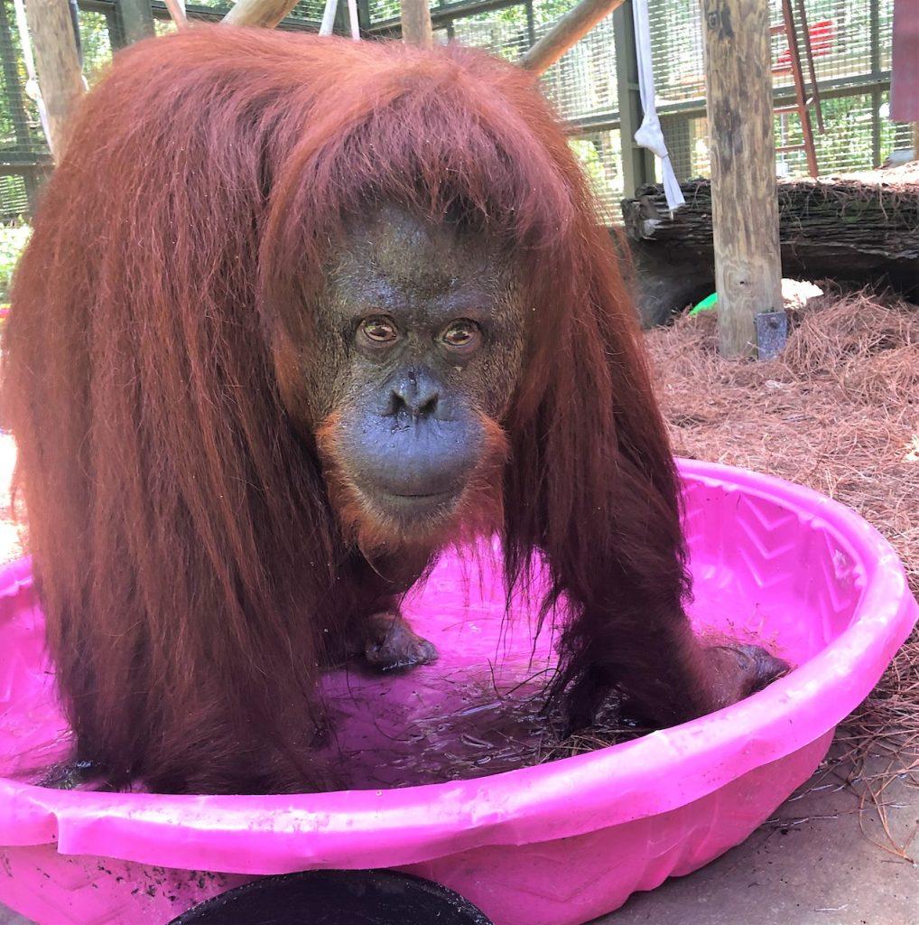 La orangutana Sandra, feliz en el Center for Great Apes de EE. UU.