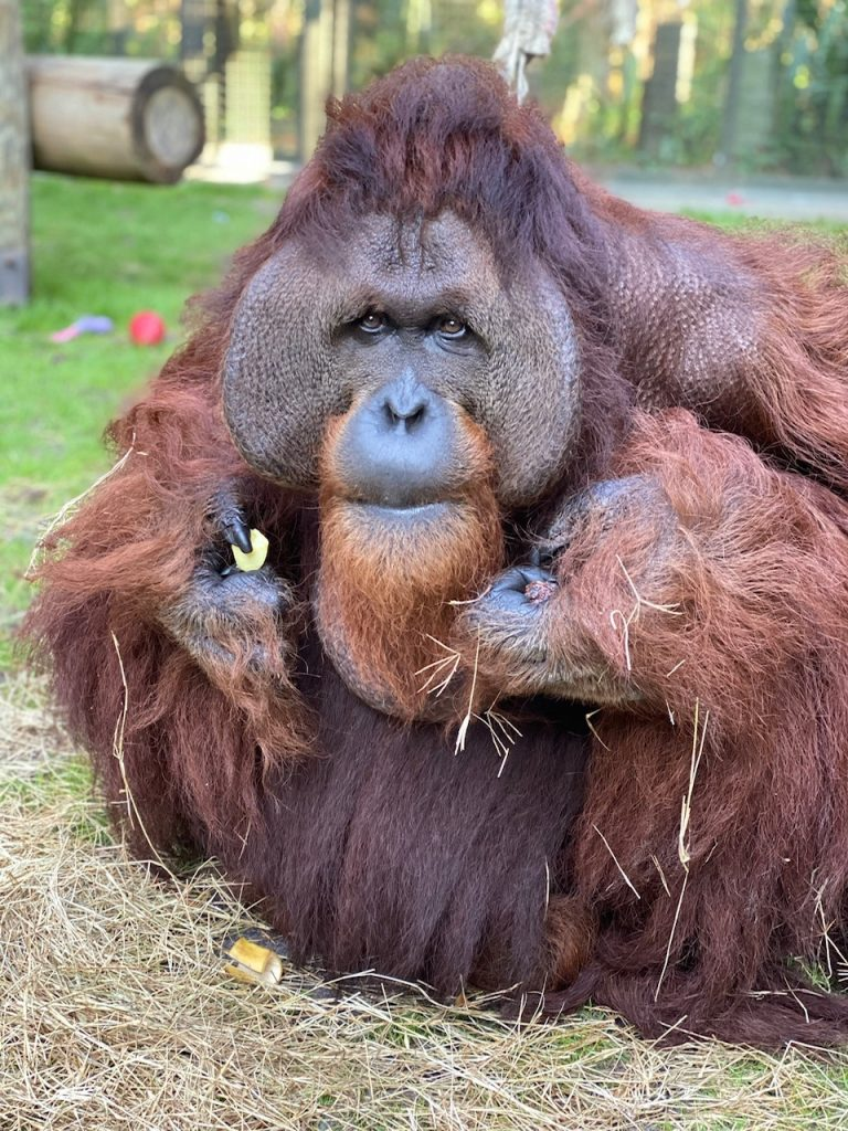Jethro, compañero de la orangutana Sandra en el Center for Great Apes