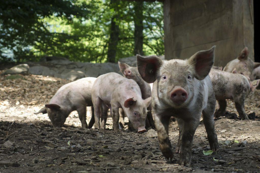 Los defensores del antespecismo y la ética animal se oponen a la instalación de megagranjas de cerdos en la Argentina