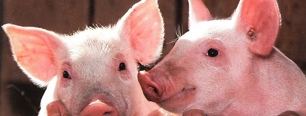 Entrevista a la doctora Silvina Pezzetta, sobre las megagranjas de cerdos en la Argentina para alimentar a China