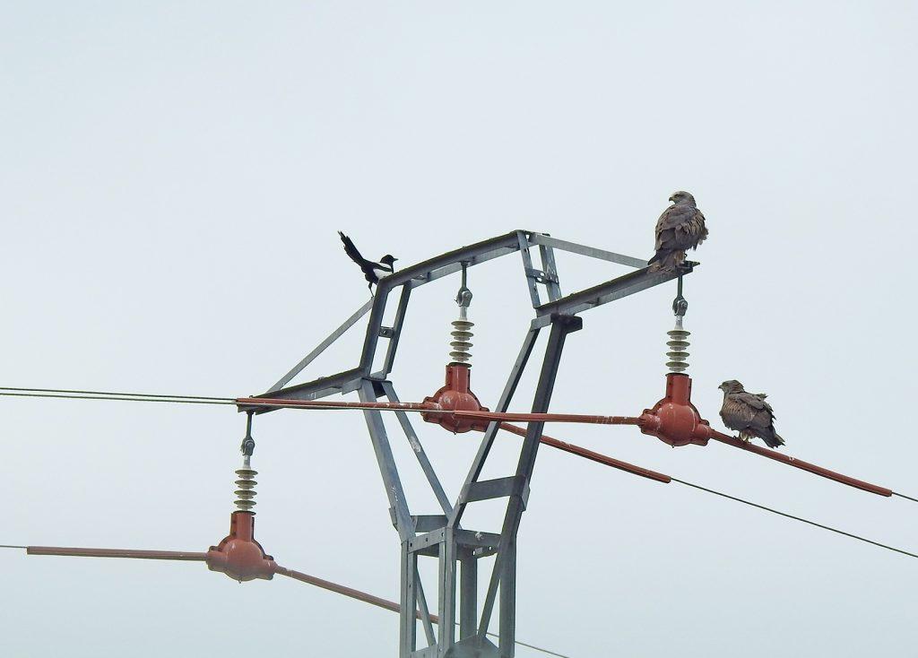 El Libro blanco de la electrocución en España brinda conocimientos cobre cómo reducir la electrocución de aves en la región