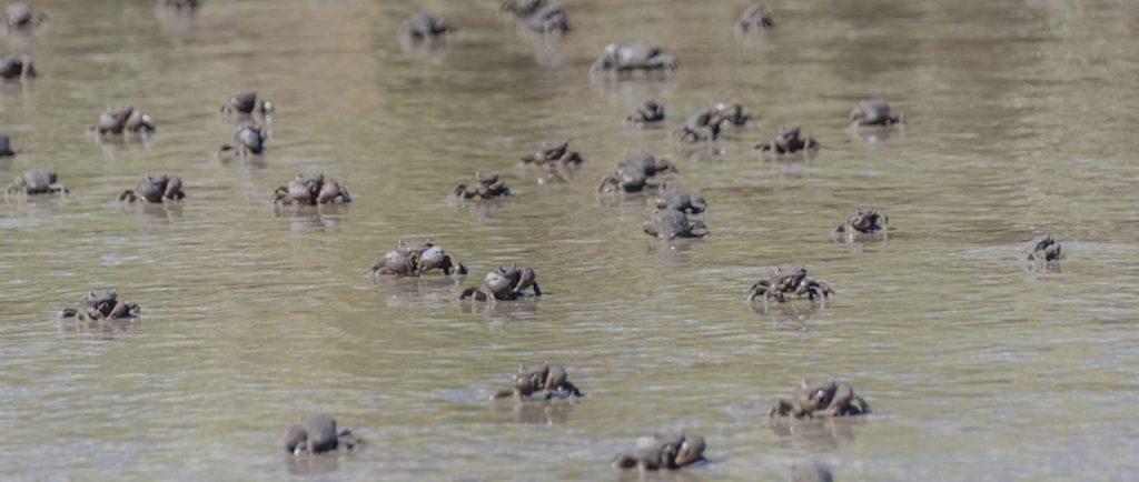El Parque Nacional Campos del Tuyú se abre ahora al turismo; se puede disfrutar, por ejemplo, de los cangrejales