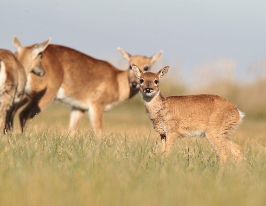 El venado de las Pampas es el emblema del Parque Nacional Campos del Tuyú, que fue creado para su preservación