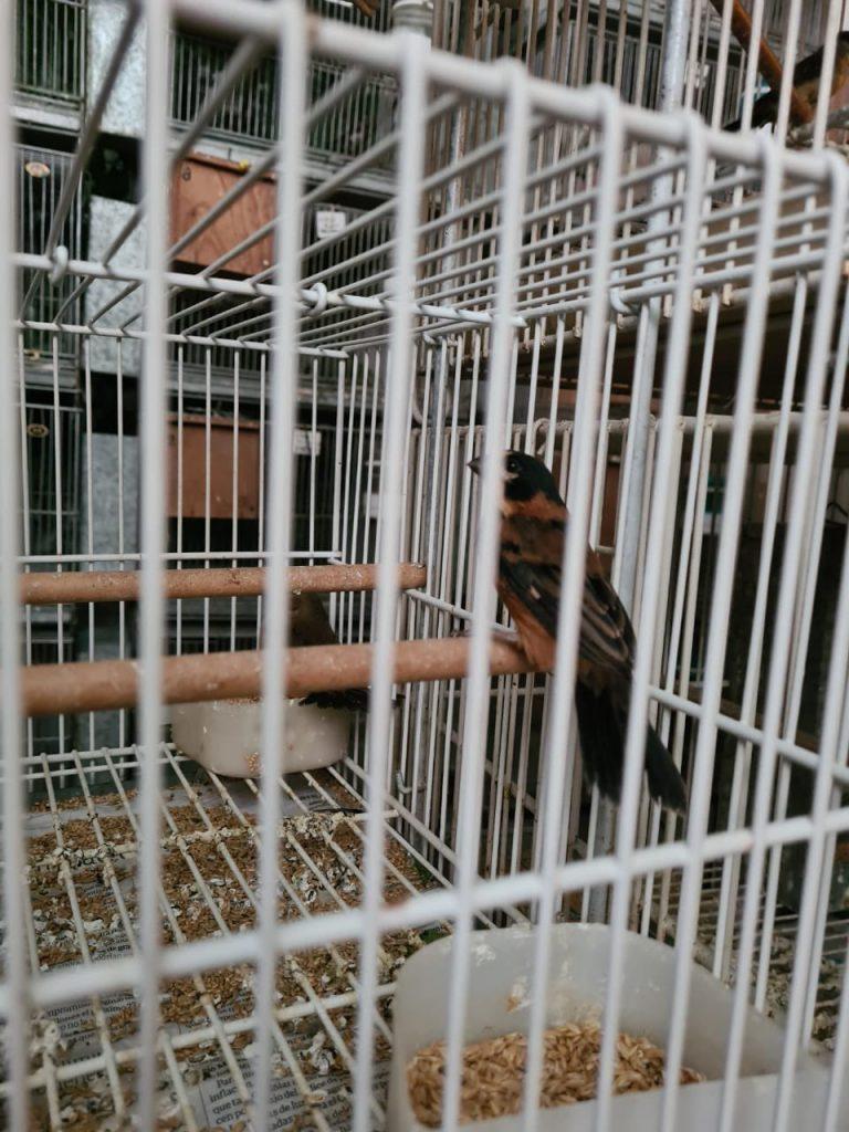 Más de 400 aves fueron rescatadas del tráfico ilegal de fauna en dos operativos en Pilar y en CABA
