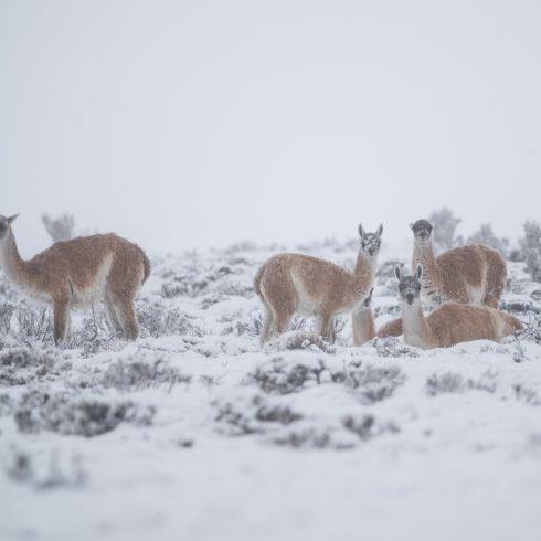 Migraciones de los grandes mamíferos herbívoros y por qué mapearlas