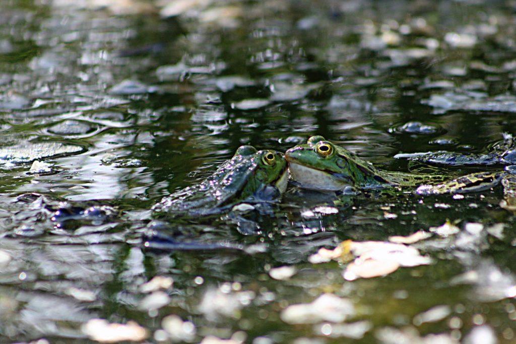 Save the Frogs Argentina, la organización que estudia y defiende a los anfibios, necesita hoy voluntarios para su tarea