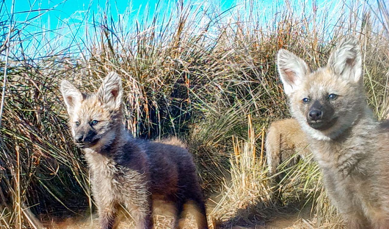 Por primera vez se registra a una hembra de aguará guazú amamantado a sus cachorros en el parque Iberá