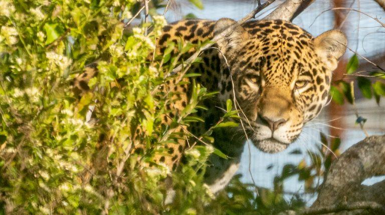 Arami en Parque Iberá / Foto de Matías Rebak para Rewilding Argentina