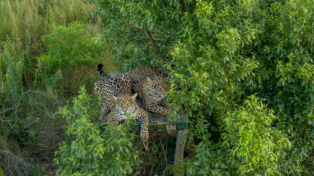 Arami y Mbareté en el Centro de Reintroducción del Yaguareté del Parque Iberá