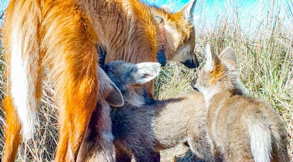 Por primera vez, se registra a una hembra de aguará guazú dando de mamar a sus crías en el Iberá